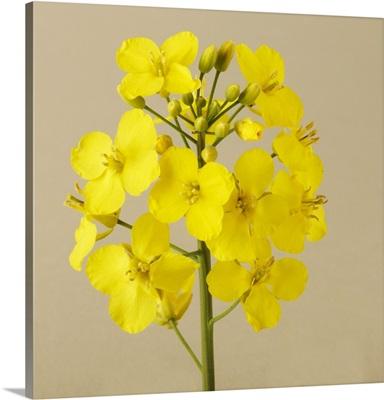 Oilseed canola flower