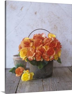 Orange begonias in a pot