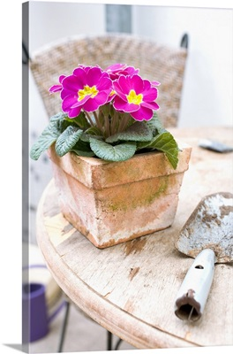 Pink primula in terracotta pot
