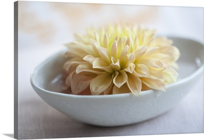 White dahlia bloom in small bowl of water