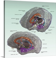 3D illustration of the Papez Circuit in human brain