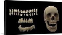 3D rendering of human teeth and skull