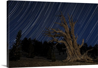A bristlecone pine tree sits against a path of star tails, California