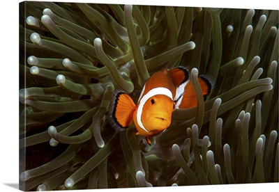 A Clownfish And Its Anemone, Anilao, Philippines