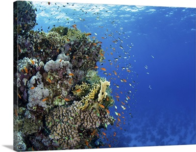 A Coral Bommie Is Home To Hundreds Of Anthias Fish In The Red Sea