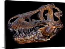 A genuine fossilized skull of a T. Rex