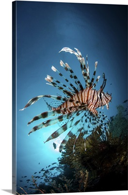A Lionfish Hovers Over A Coral Reef As The Sun Sets