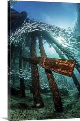 A Pier Provides A Shelter For A School Of Scats, Raja Ampat, Indonesia