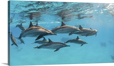 A Pod Of Spinner Dolphins Swimming By Just Under The Surface, Red Sea
