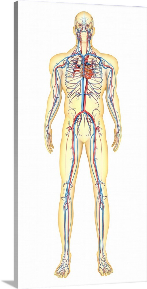 Anatomy Of Human Body And Circulatory System Front View Wall Art