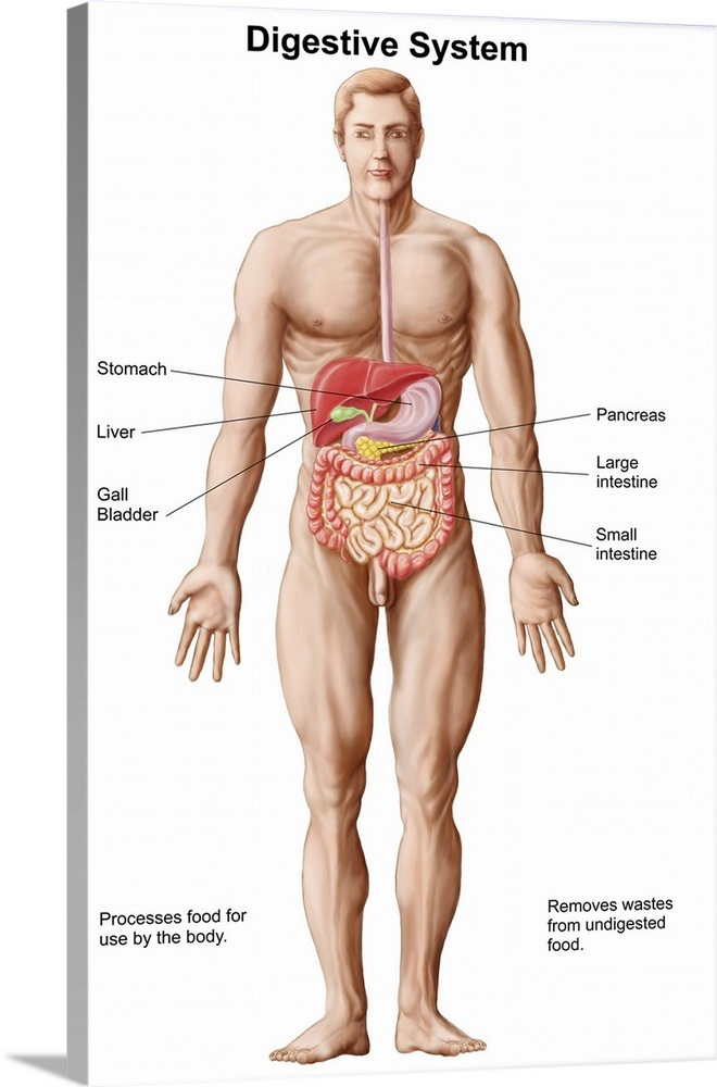 Anatomy Of Human Digestive System Male Representation Wall Art