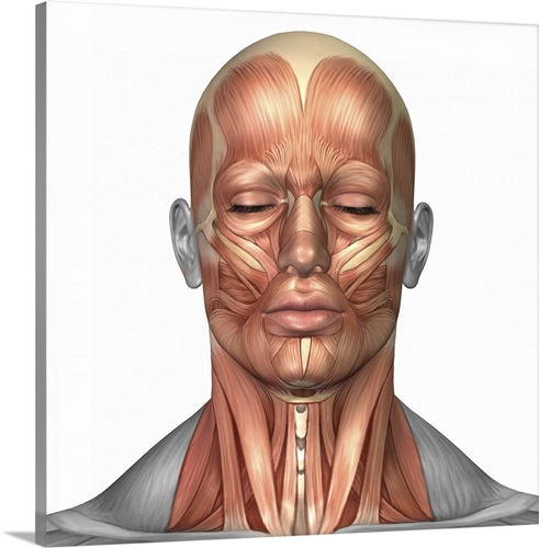 Anatomy Of Human Face And Neck Muscles Front View Wall Art Canvas