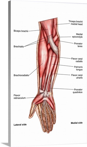 Anatomy Of Human Forearm Muscles Superficial Anterior View Wall Art
