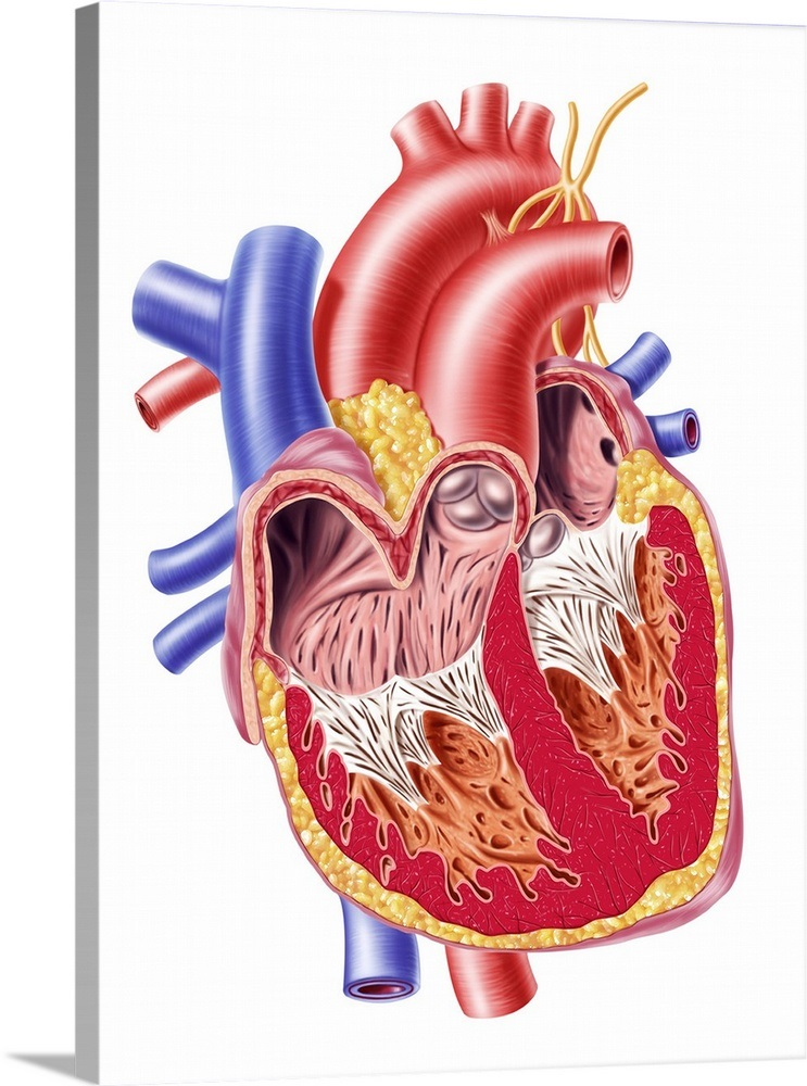 Anatomy Of Human Heart Cross Section Wall Art Canvas Prints