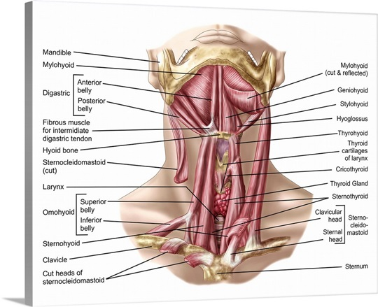 Anatomy Of Human Hyoid Bone And Muscles Anterior View Wall Art
