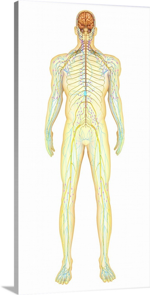 Anatomy Of Human Nervous System And Lymphatic System Wall Art