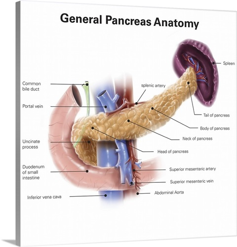 Anatomy Of Human Pancreas With Labels Wall Art Canvas Prints