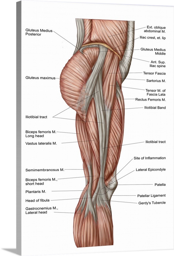 Anatomy Of Human Thigh Muscles Anterior View Wall Art Canvas
