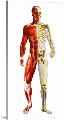 Anatomy of male body with half skeleton and half muscular system ...