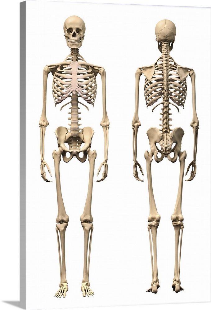 Anatomy Of Male Human Skeleton Front View And Back View Wall Art