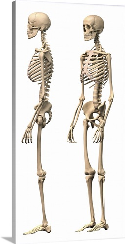 Anatomy Of Male Human Skeleton Side View And Perspective View Wall