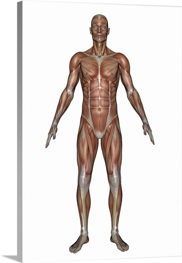 Anatomy of male muscular system, front view Wall Art, Canvas Prints ...