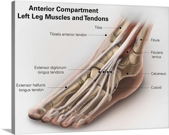Anterior compartment anatomy of left leg muscles and tendons Wall ...