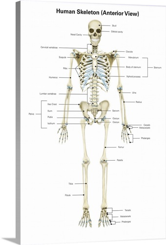 Anterior View Of Human Skeletal System With Labels Wall Art Canvas