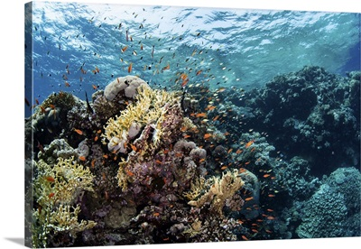 Anthias Swarm Around A Coral Reef In The Red Sea, Red Sea