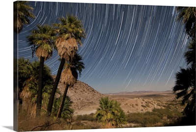 California Fan Palms and a mesquite grove in a desert landscape