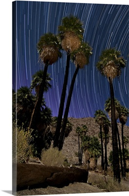 California fan palms and backdrop of star trails in Anza Borrego Desert State Park