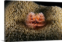 Christmas Tree Worm in hard coral