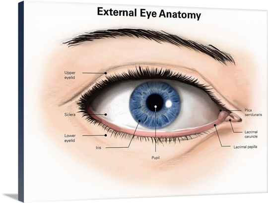 External anatomy of the human eye (with labels) Wall Art, Canvas ...