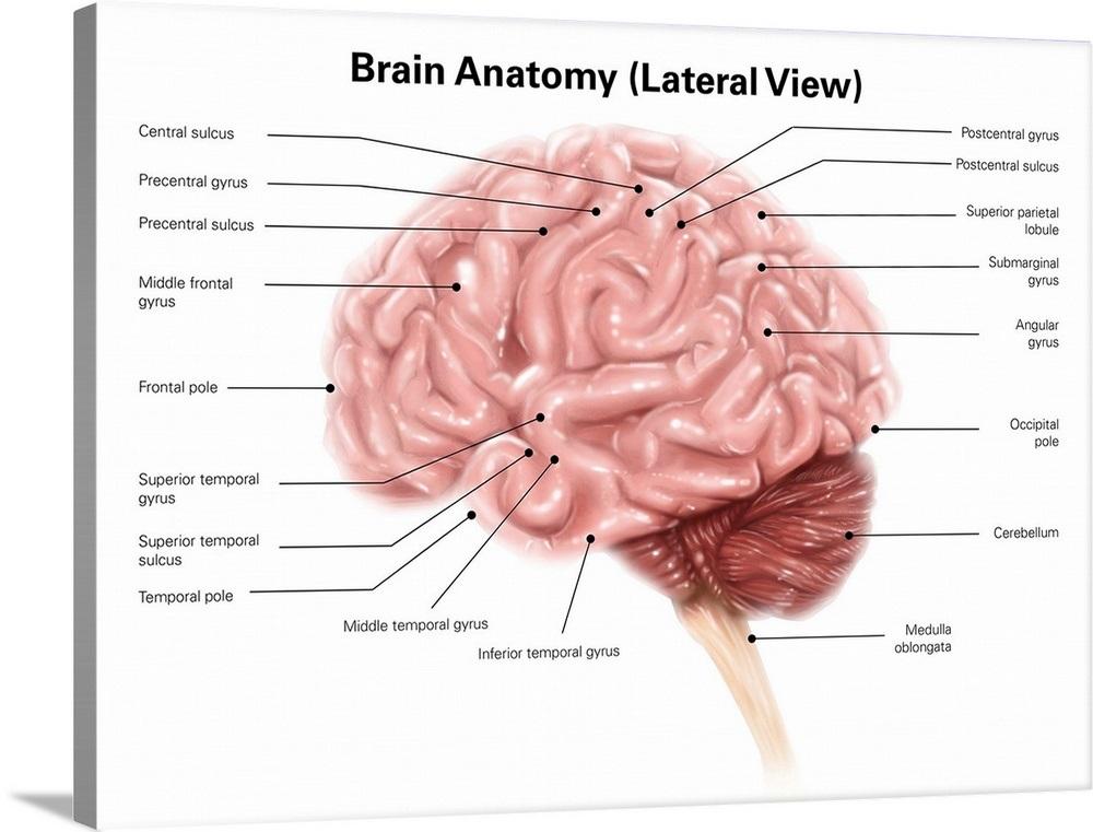 Human Brain Anatomy Lateral View Wall Art Canvas Prints Framed