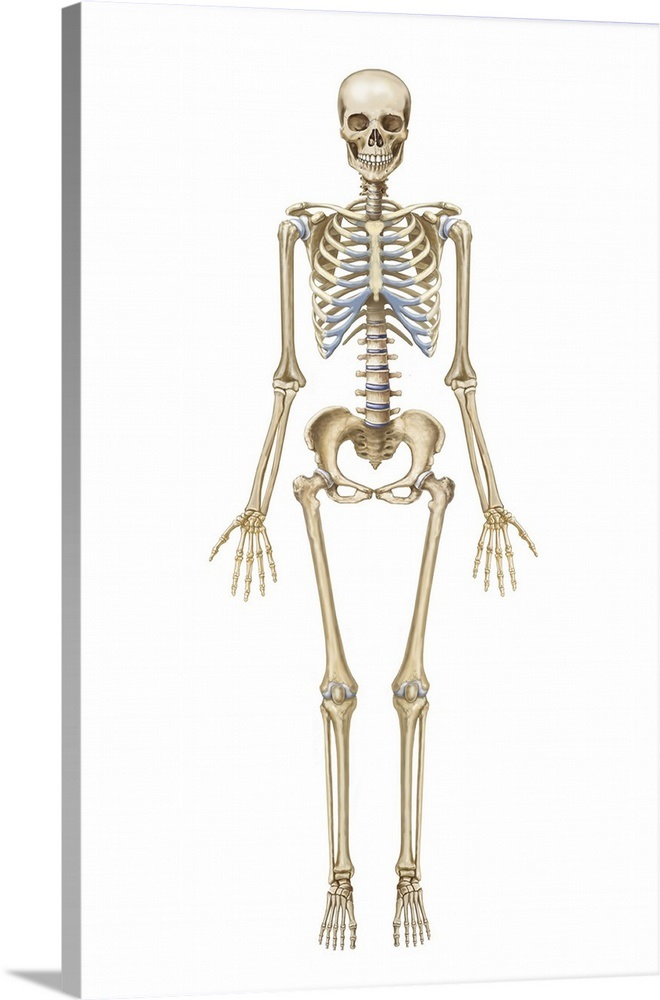 Human Skeletal System Front View Wall Art Canvas Prints Framed