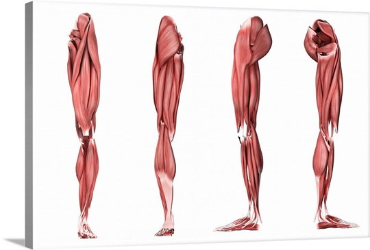 Side View of Leg Muscles Leg Muscles Four Side