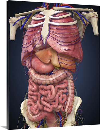 Midsection View Showing Internal Organs Of Human Body Wall Art