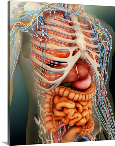 Perspective View Of Human Body Whole Organs And Bones Wall Art