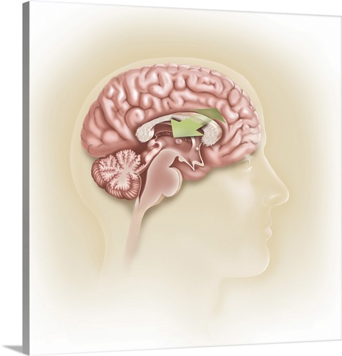 Sagittal View Of Human Brain Showing The Corpus Callosum Wall Art