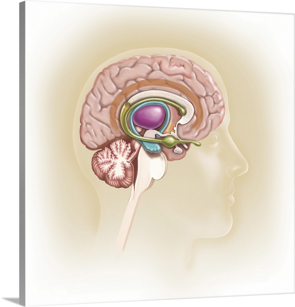 Sagittal View Of Human Brain Showing The Limbic System Wall Art