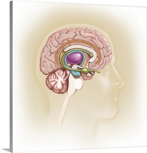 Sagittal view of human brain showing the limbic system Wall Art ...