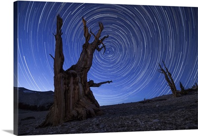 Star trails above an ancient bristlecone pine tree, California