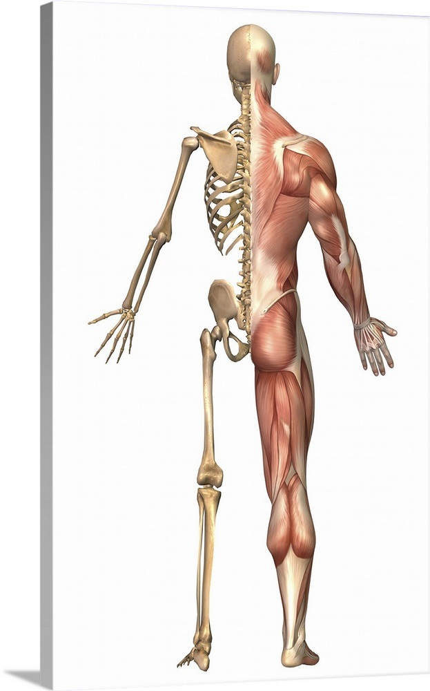 The Human Skeleton And Muscular System Back View Wall Art Canvas