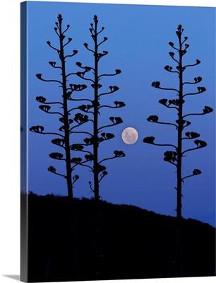The moon rising between agave trees, Miramar, Argentina