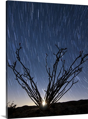 The setting moon is visible through the thorny branches on an ocotillo, California