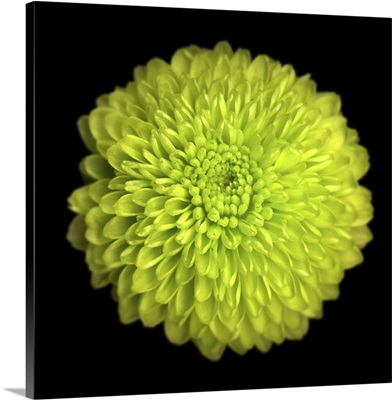 Green Chrysanthemum I