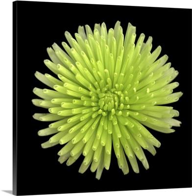 Green Chrysanthemum II