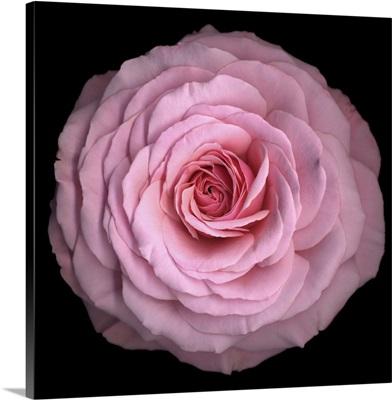 Pink Antique Rose