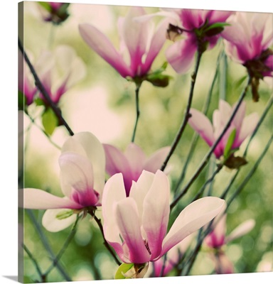Fragile Pink Daisies