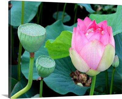 Purple Lotus I
